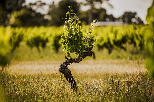 Torbreck wijnstok